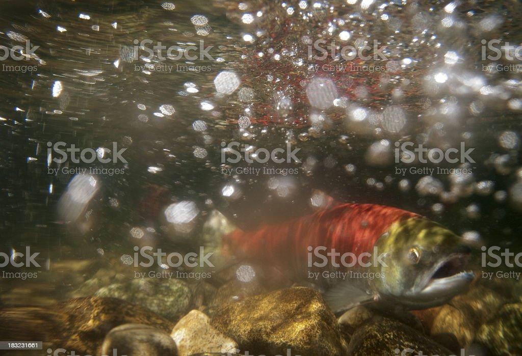 Underwater photo, spawning sockeye salmon stock photo