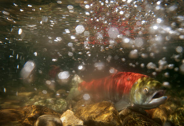 Underwater photo, spawning sockeye salmon stock photo