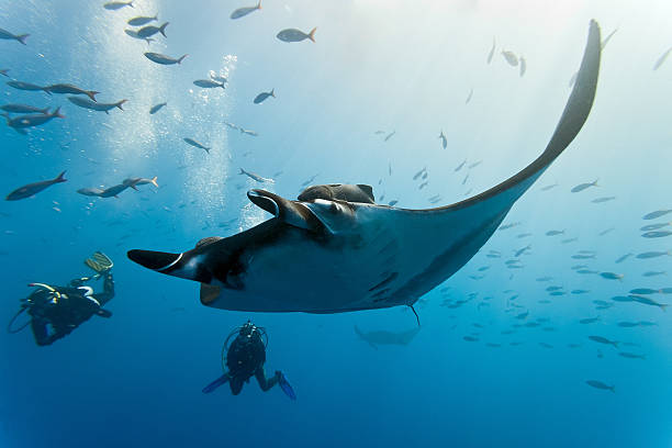 Underwater photograph of a manta ray and shoal of fish stock photo