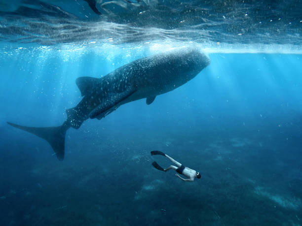 Underwater photographer swimming with whale sharks and makes selfie in the philippines - Photo