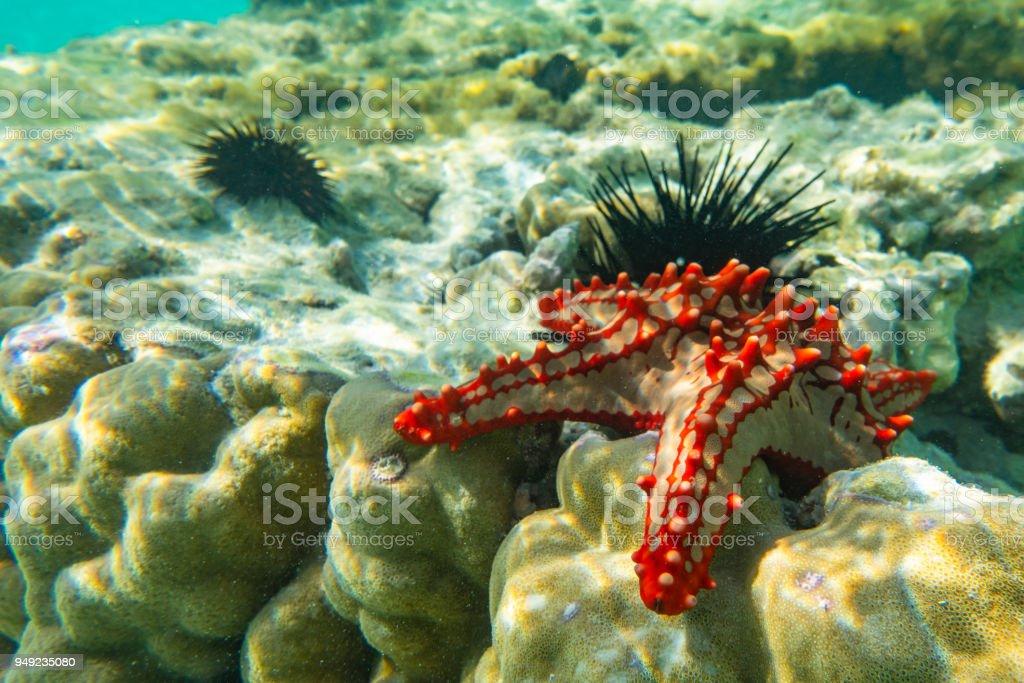 Underwater photography. Red knobbed sea star and sea urchins. Zanzibar, Tanzania. stock photo
