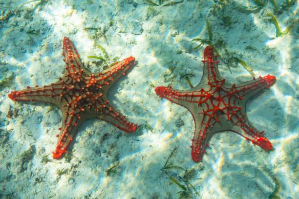 underwater photography. red knobbed sea star. zanzibar, tanzania. - immerse in the stars foto e immagini stock