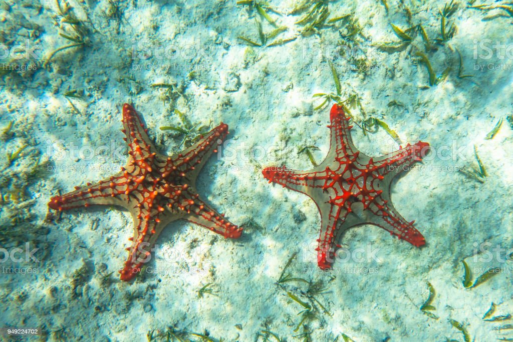 Underwater photography. Red knobbed sea star. Zanzibar, Tanzania. stock photo