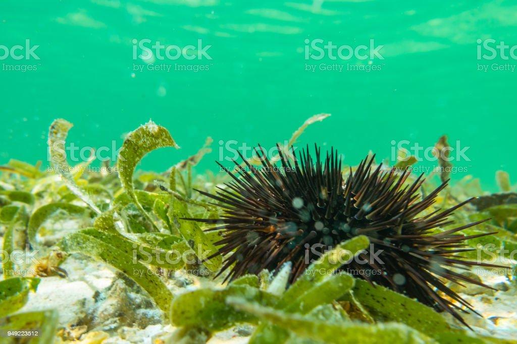 Underwater photography. Sea urchins. Zanzibar, Tanzania. stock photo