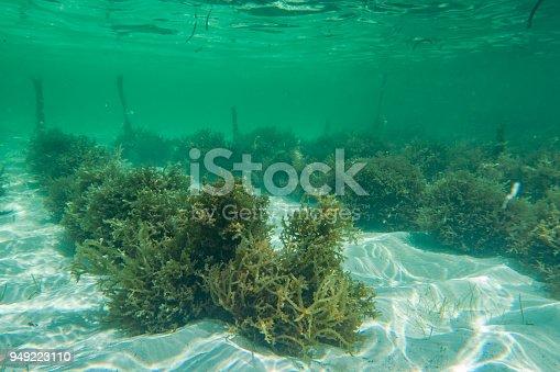 istock Underwater photography. Sea weed plantation. Zanzibar, Tanzania. 949223110