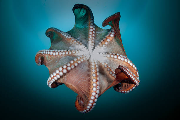 underwater Giant octopus in the deep.Japana Sea octopus photos stock pictures, royalty-free photos & images