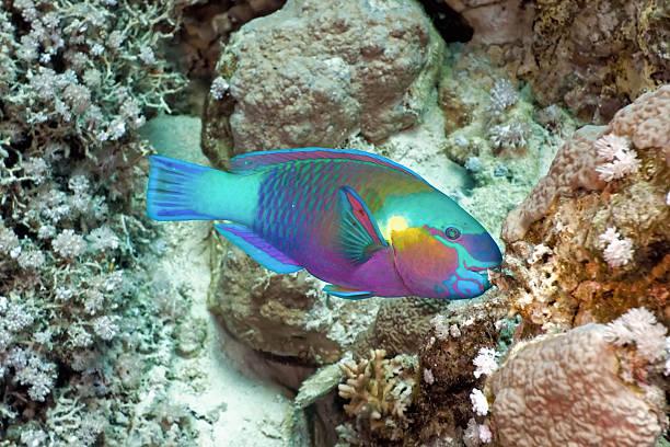 Underwater profile of rainbow colored Parrotfish stock photo
