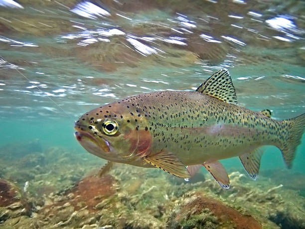 Underwater Rainbow Trout - Oncorhynchus mykiss  freshwater fish stock pictures, royalty-free photos & images
