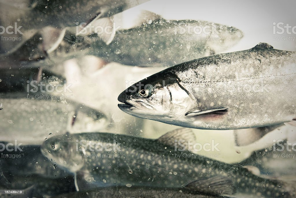 Underwater Rainbow Trout royalty-free stock photo