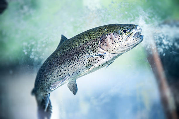 Underwater Rainbow Trout Underwater Rainbow Trout salmonidae stock pictures, royalty-free photos & images