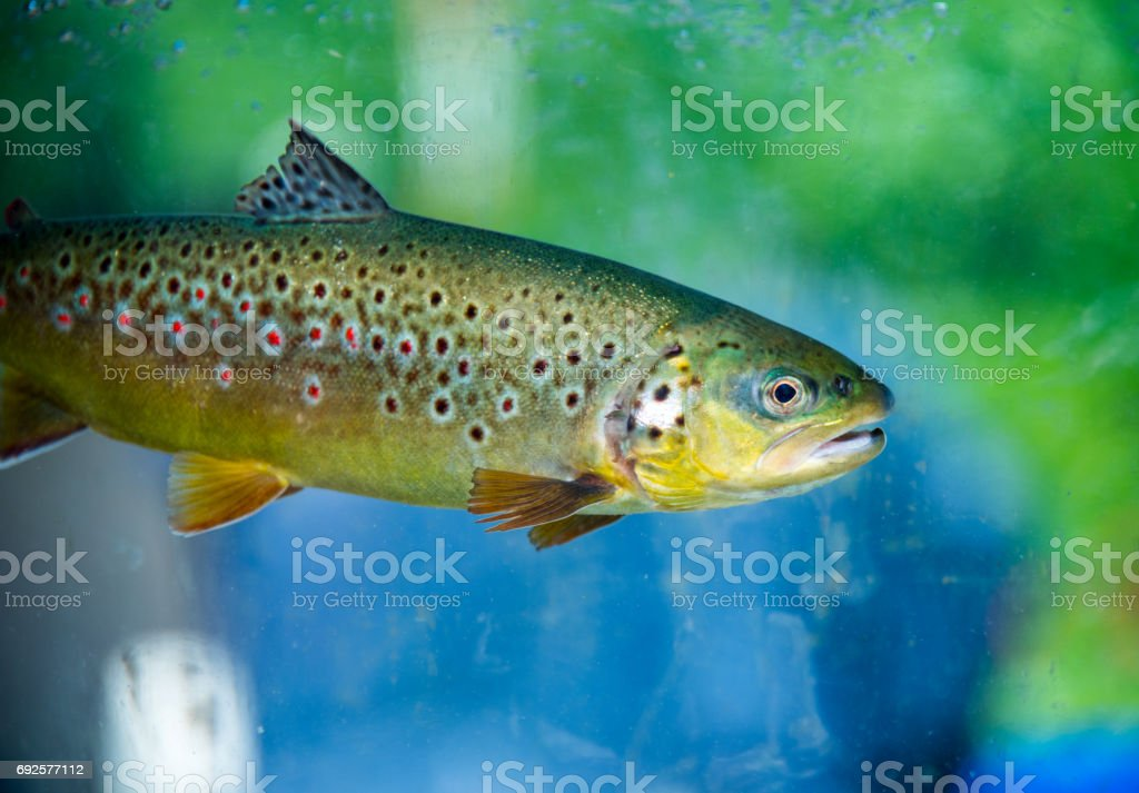 Underwater Rainbow Trout stock photo