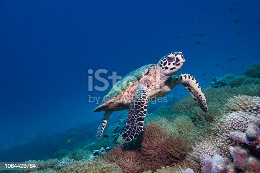 This rare encounter with a Critically Endangered Hawksbill Sea Turtle (Eretmochelys imbricata), was captured whilst scuba diving at Koh Rok islands in the Andaman Sea, Krabi, Thailand.  Sea Turtles are reef dwelling creatures who feed mainly on jellyfish and coral. The Hawksbill Turtle, unlike other sea Turtles, feeds predominantly on sponge corals.  Making it a crucial part of the Coral Reef Ecosystem.  Hawksbills are perhaps the most endangered of all sea Turtles.  Being classed as critically endangered on the IUCN red list, due to being hunted for their meat and shell.  There are estimated to be only 15,000 pairs left in the wild.  This image shows their primal instinctive behaviour as it forages for food on the coral reef.  Taken on Sony mirrorless camera with underwater housing and Inon Z330 strobe.