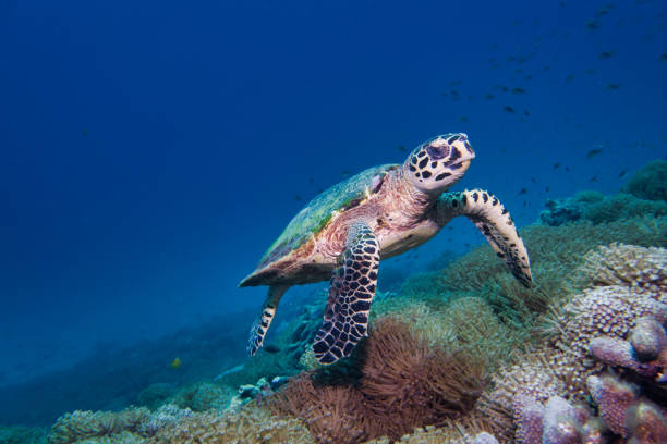 underwater rare encounter with critically endangered hawksbill sea turtle (eretmochelys imbricata) - tartaruga marina foto e immagini stock