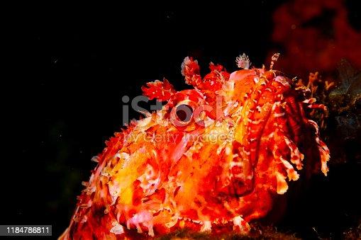 istock Underwater Red Scorpionfish fish deep in sea Sea life Mediterranean sea Scorpaena scrofa Scuba diver point of view 1184786811
