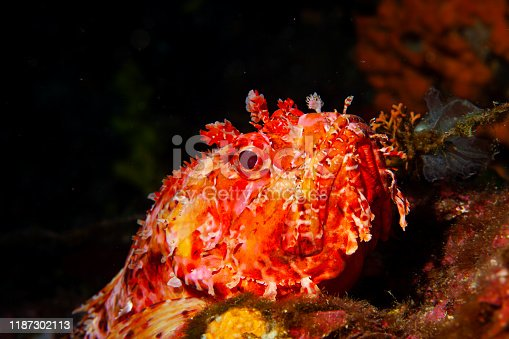 istock Underwater Red Scorpionfish fish deep in sea Sea life Mediterranean sea Scorpaena scrofa Scuba diver point of view 1187302113