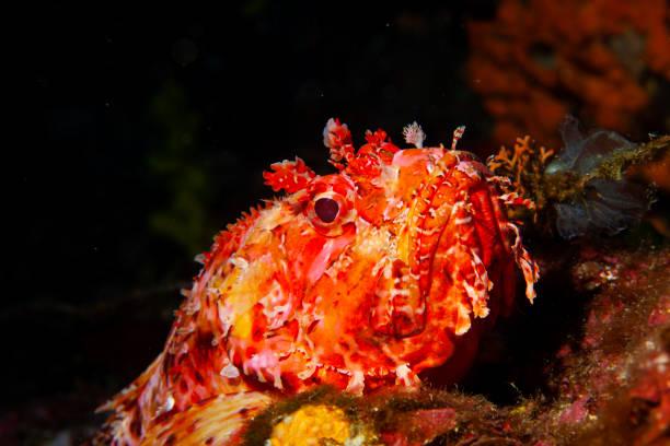 Underwater Red Scorpionfish fish deep in sea Sea life Mediterranean sea Scorpaena scrofa Scuba diver point of view stock photo