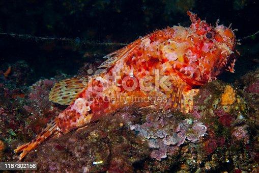 istock Underwater Red Scorpionfish fish deep in sea Sea life Mediterranean sea Scorpaena scrofa Scuba diver point of view 1187302156
