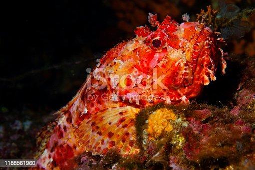 istock Underwater Red Scorpionfish fish deep in sea Sea life Mediterranean sea Scorpaena scrofa Scuba diver point of view 1188561960