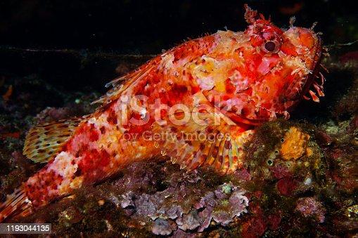 istock Underwater Red Scorpionfish fish deep in sea Sea life Mediterranean sea Scorpaena scrofa Scuba diver point of view 1193044135
