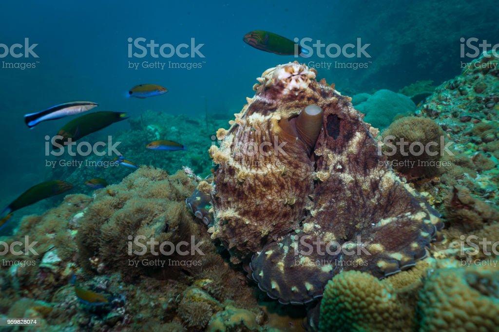 Fotografía de Pulpo De Arrecife Submarino Camuflado En Los Arrecifes ...