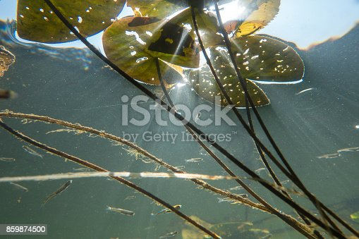 istock Underwater river landscape with lily and sun rays 859874500