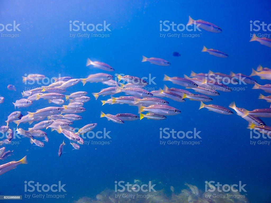Underwater School Fish Tropical Snapper (Lutjanus biguttatus) zbiór zdjęć royalty-free