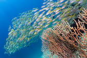 Coral reefs are the one of earths most complex ecosystems, containing over 800 species of corals and one million animal and plant species. Here we see a shallow coral reef with Gorgonian Sea fan corals supporting shoals of Bigeye Snapper (Lutjanus lutjanus). The large school of fish group together as a means of protection from predators. The location are the Bida Islands, Phi Phi Archipelago, Andaman Sea, Krabi, Thailand.