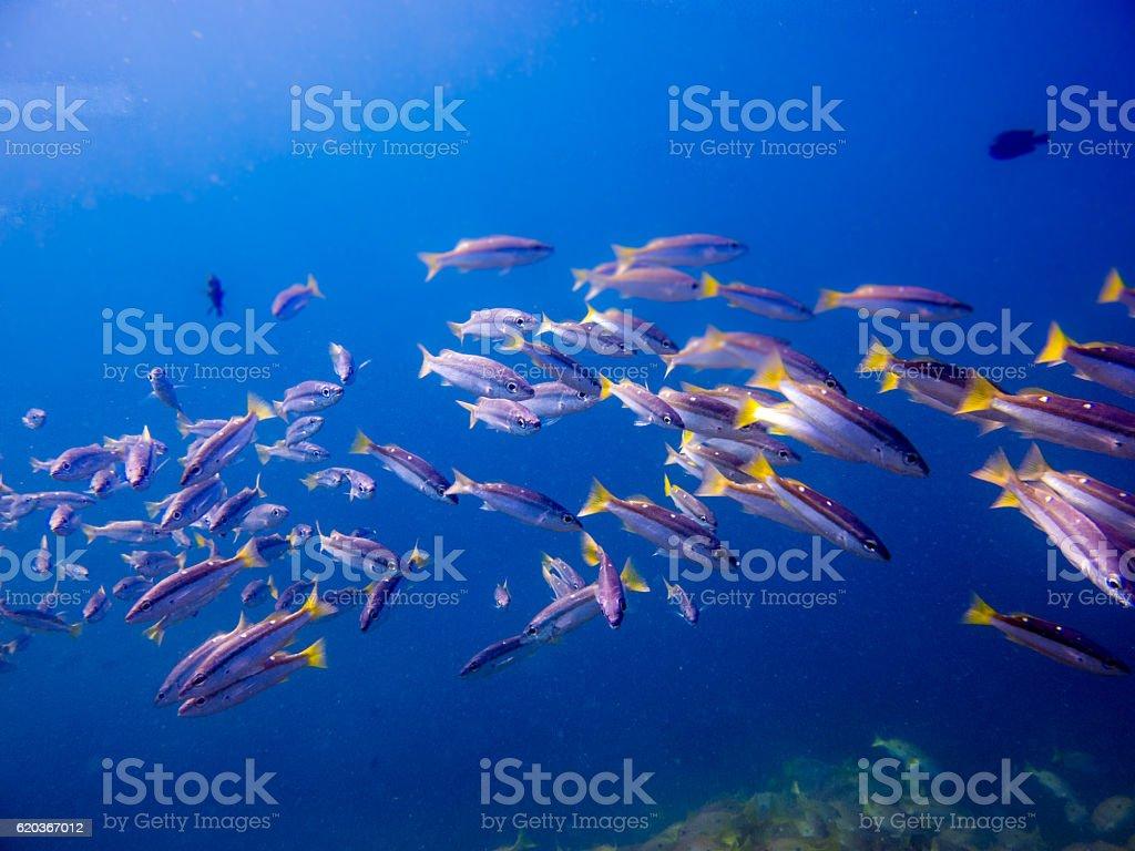 Underwater School Tropical Snapper Fish (Lutjanus biguttatus) zbiór zdjęć royalty-free