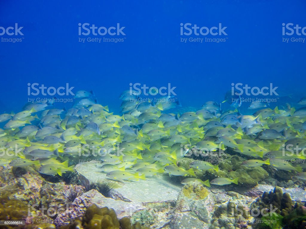 Underwater School Tropical Yellowtail Snapper Fish (Ocyurus Chrysurus) zbiór zdjęć royalty-free
