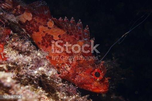 istock Underwater Scorpionfish fish deep in sea Sea life Mediterranean sea 1023467706