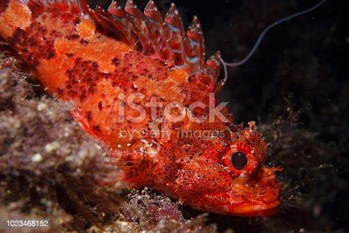 istock Underwater Scorpionfish fish deep in sea Sea life Mediterranean sea 1023468152