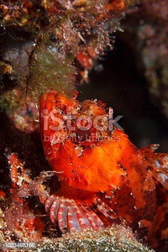 istock Underwater Scorpionfish fish deep in sea Sea life Mediterranean sea 1023468166