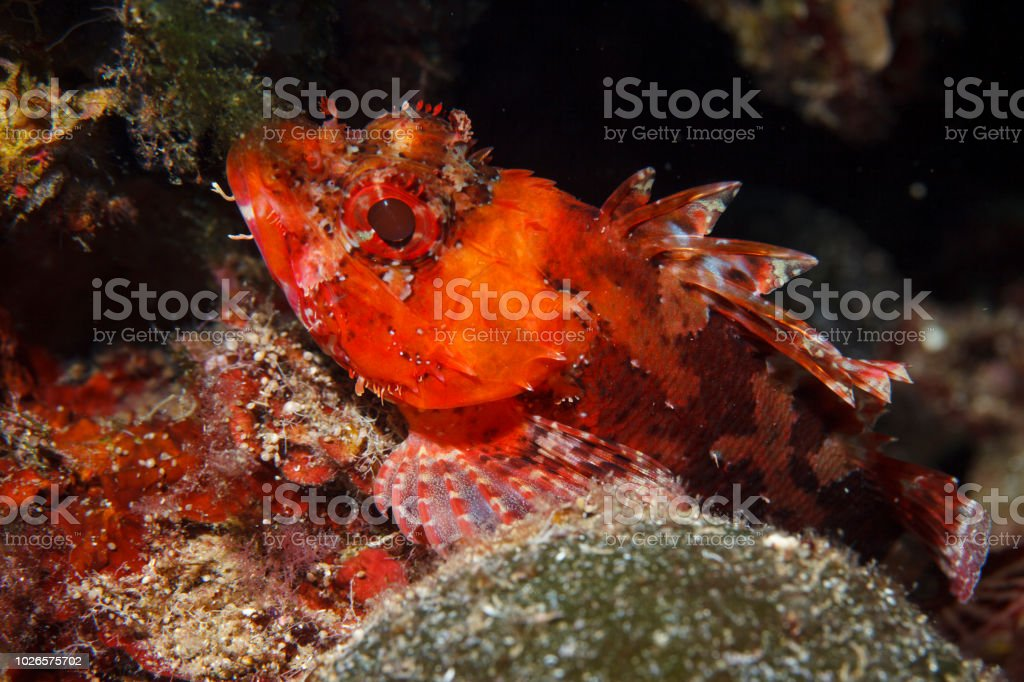 Underwater Scorpionfish fish deep in sea Sea life Mediterranean sea