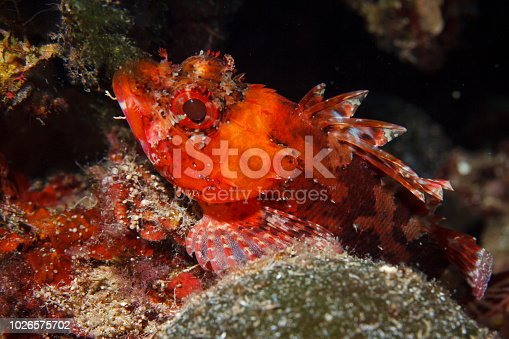 istock Underwater Scorpionfish fish deep in sea Sea life Mediterranean sea 1026575702