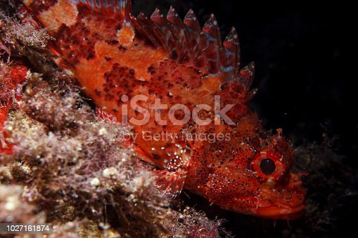 istock Underwater Scorpionfish fish deep in sea Sea life Mediterranean sea 1027161874