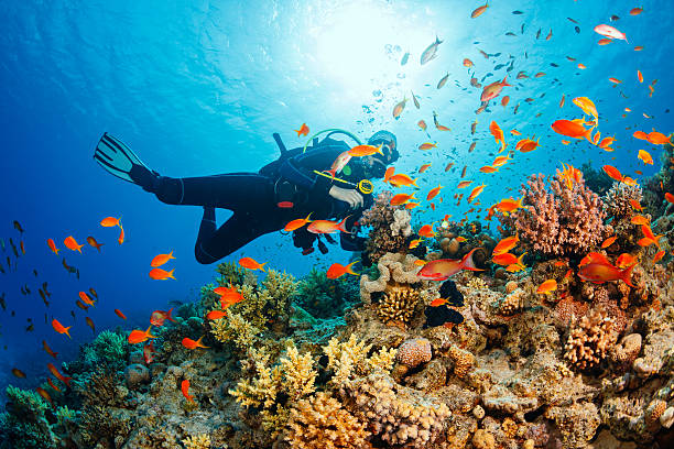 Underwater  Scuba diver explore and enjoy  Coral reef  Sea life Scuba diving. Beautiful sea life. Underwater scene with young women, scuba diver, explore and enjoy at coral reef. School of red sea fish (scalefin anthias). underwater diving stock pictures, royalty-free photos & images