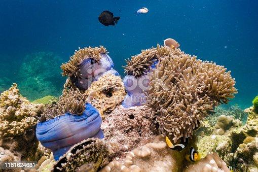 istock Underwater seascape of coral garden of Magnificent Sea Anemone (Heteractis magnifica) 1181624631