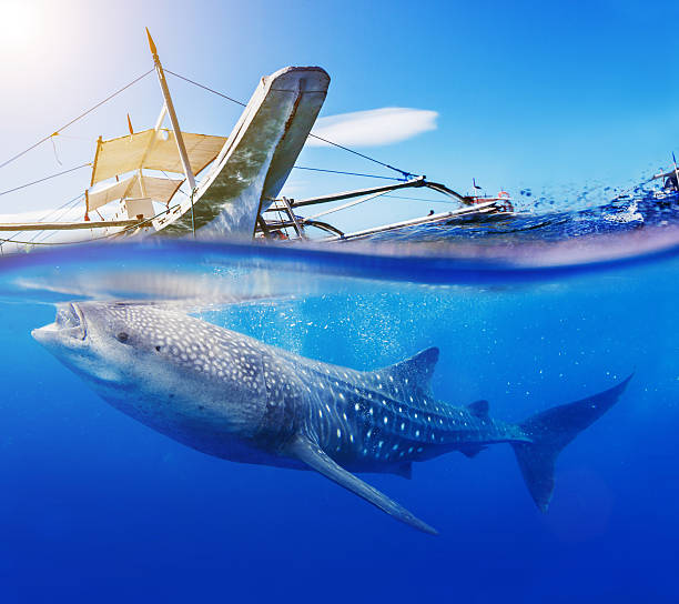 underwater shoot of a whale shark - cebu stockfoto's en -beelden