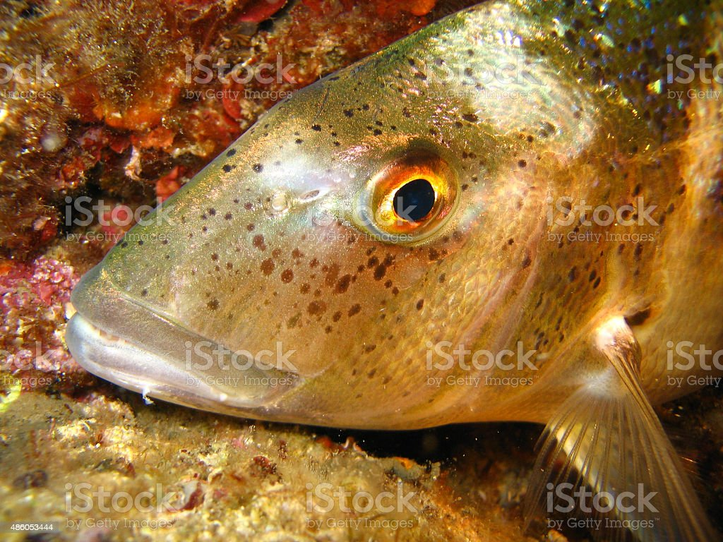 Underwater shot of dentex dentex - Porgy stock photo