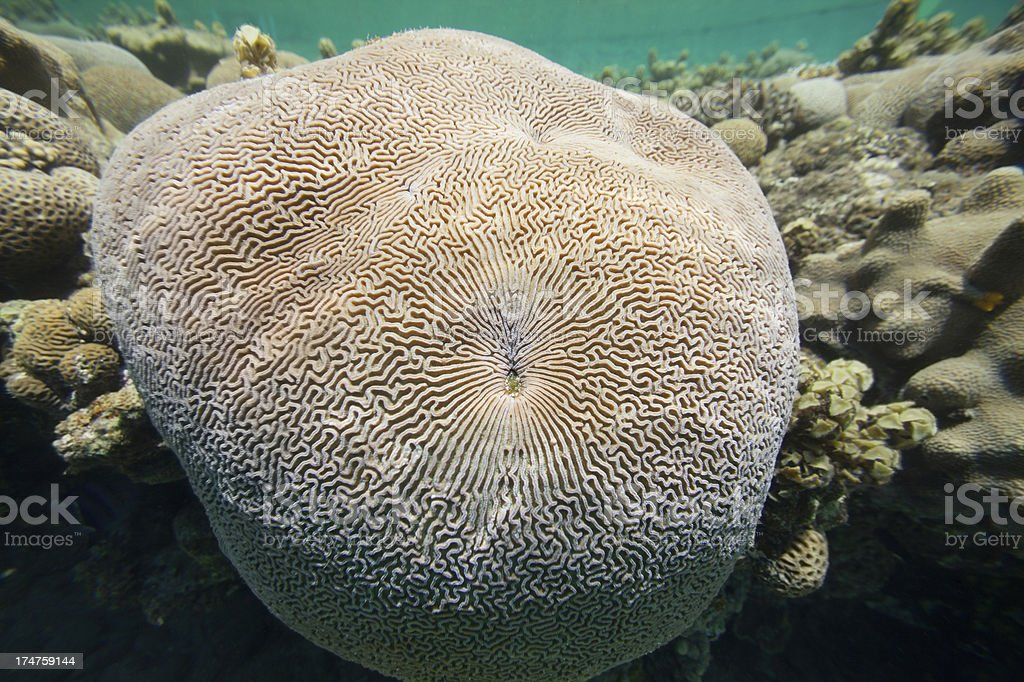 Underwater shot of huge brain coral stock photo