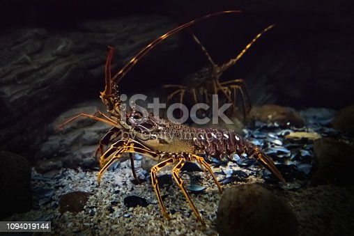 Side view of crawling live spiny lobster with long whiskers in natural underwater habitat. Selective focus. Unfocused background with one more lobster, natural stones and broken shells.