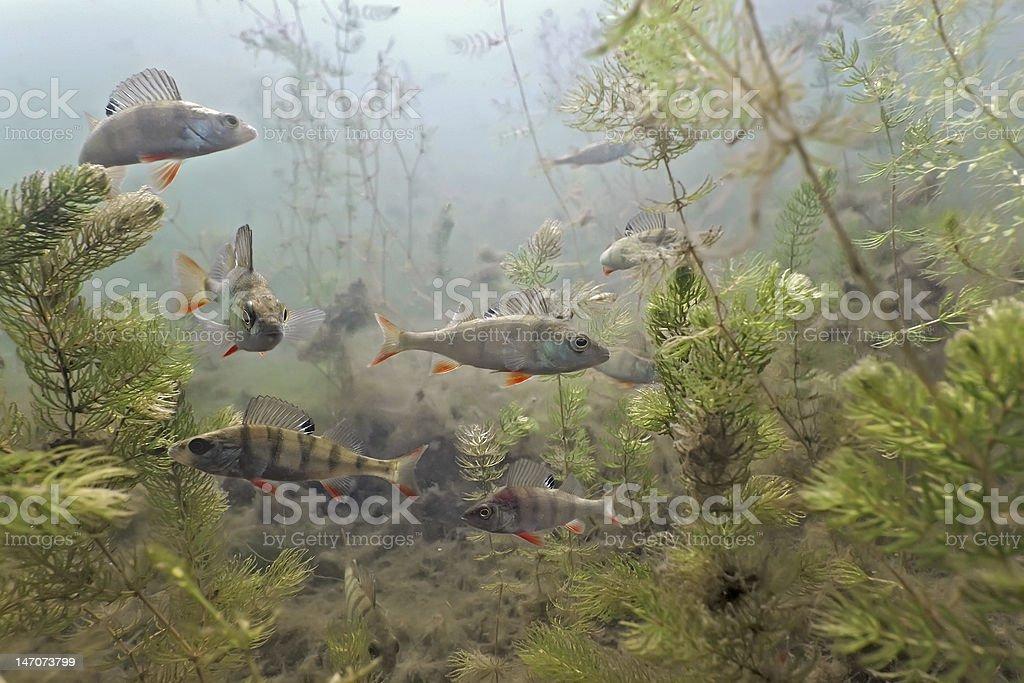 Underwater shot of shoal of perch with aquatic plant life stock photo
