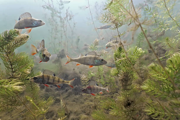 Underwater shot of shoal of perch with aquatic plant life Shoal of perch  in the lake perch fish stock pictures, royalty-free photos & images