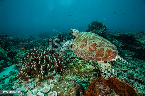 caretta, Underwater shots of green and hawksbill sea turtles