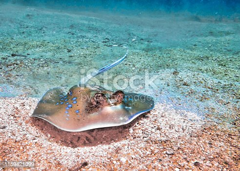 One Blue Spotted Stingray (Neotrygon kuhlii).  These threatened species Stingrays are a rare site.  Their blue spots are a sign of its highly venomous stinging tail barbs.  Image taken at Phi Phi, Krabi, Thailand.