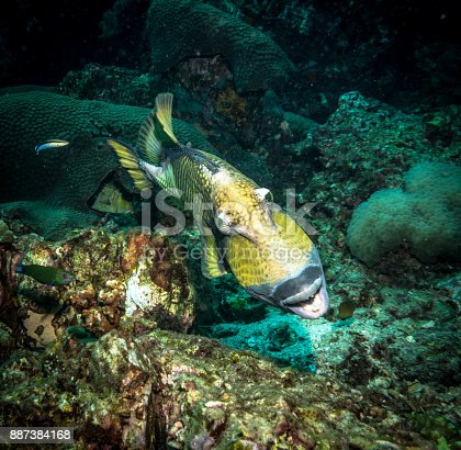 Titan Triggerfish (Balistoides viridescens) are well recognised by scuba divers for having a notorious reputation.  They are territorial fish and will fiercely defend their young if predators approach.  An instinctive behaviour to ensure the survival of the species.  Image taken at Ko Haa, Andaman Sea, Krabi, Thailand.