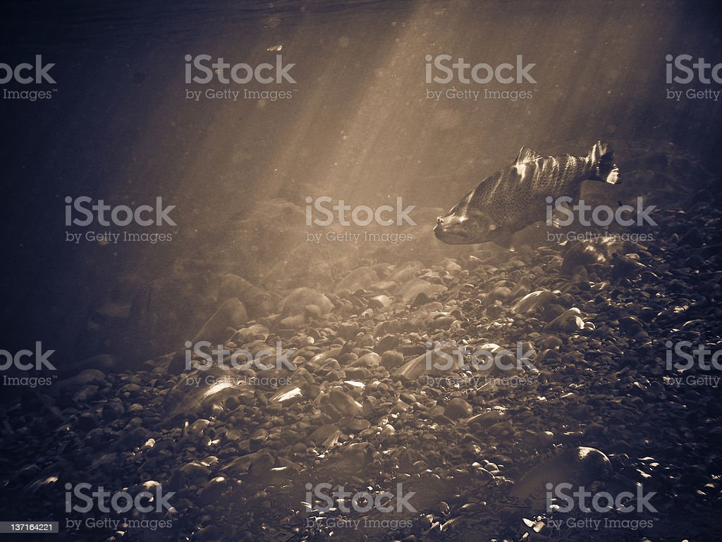 underwater trout royalty-free stock photo