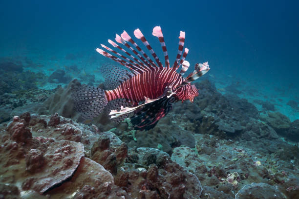 underwater venemous lionfish aka zebra fish (pterois volitans) - introduced species stock pictures, royalty-free photos & images