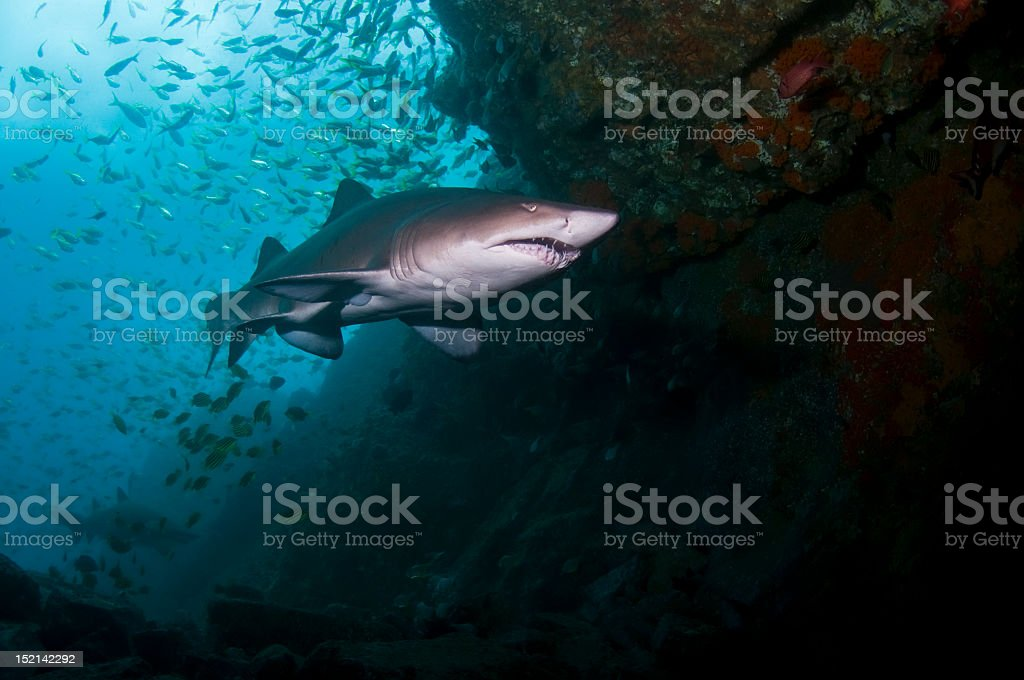 Underwater view of a gray nurse shark swimming in a cave stock photo