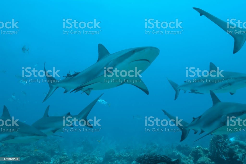 Underwater view of a school of sharks royalty-free stock photo
